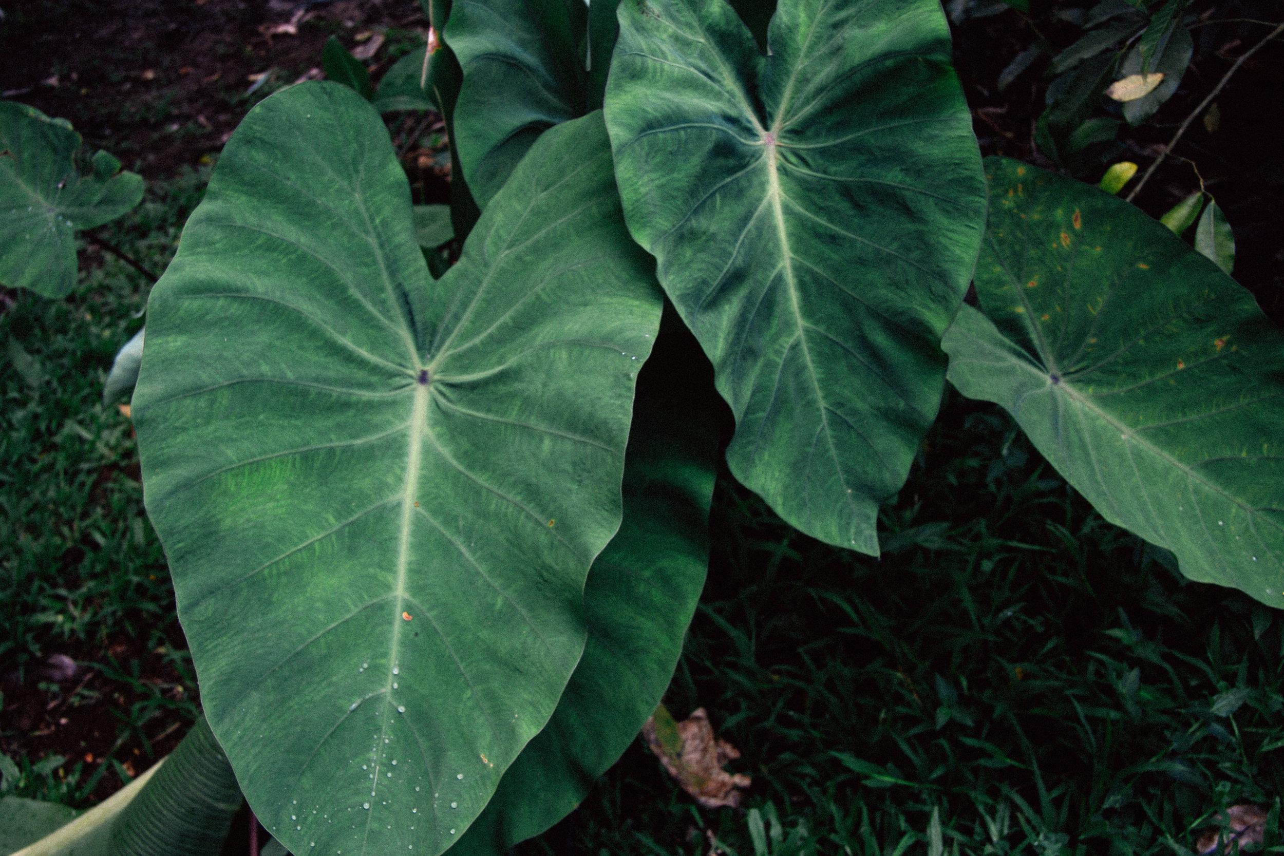 Kalo, Taro,  Colocasia esculenta  (Araceae)
