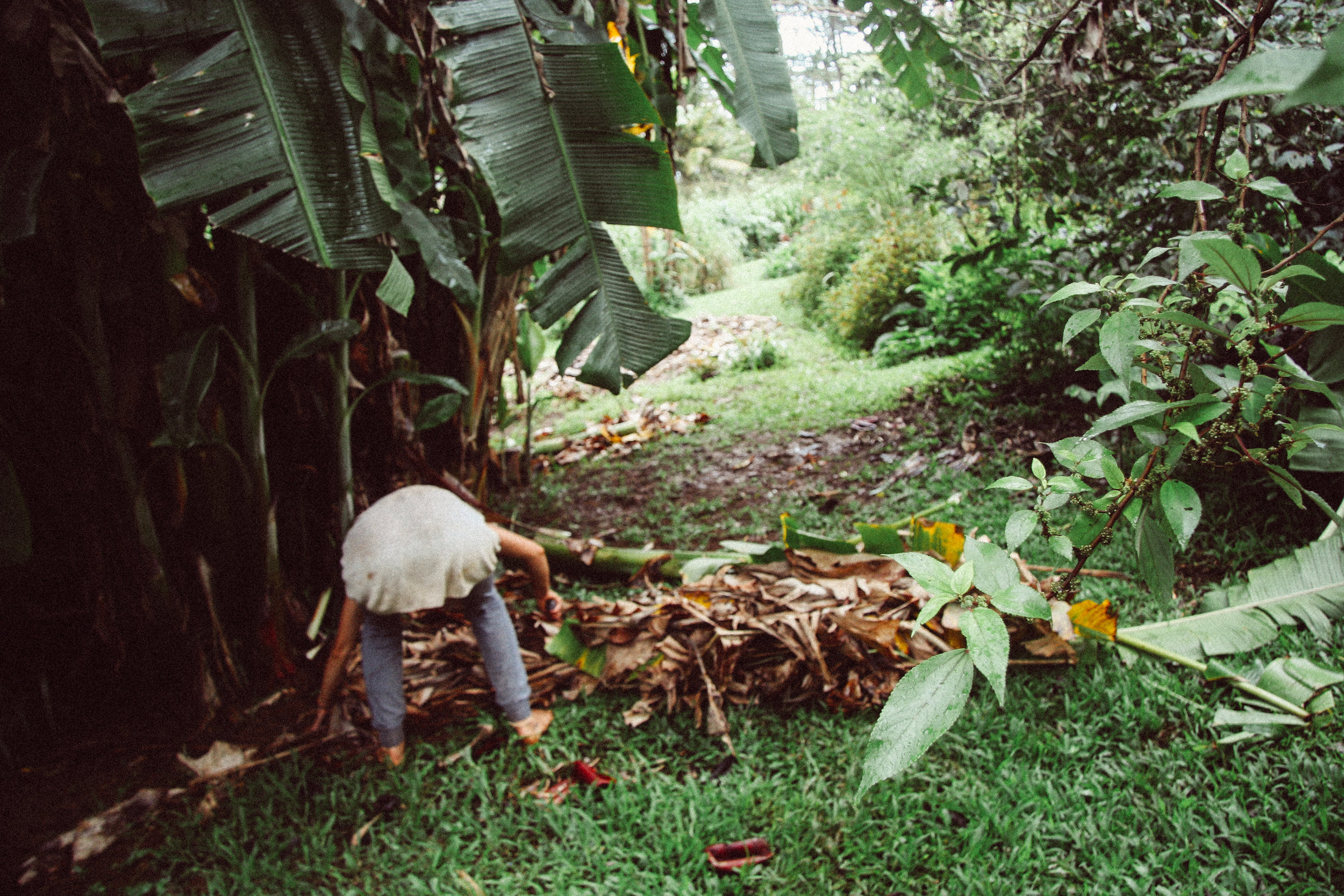 cutting down Banana,  Musa spp.  (Musaceae)for mulching guilds