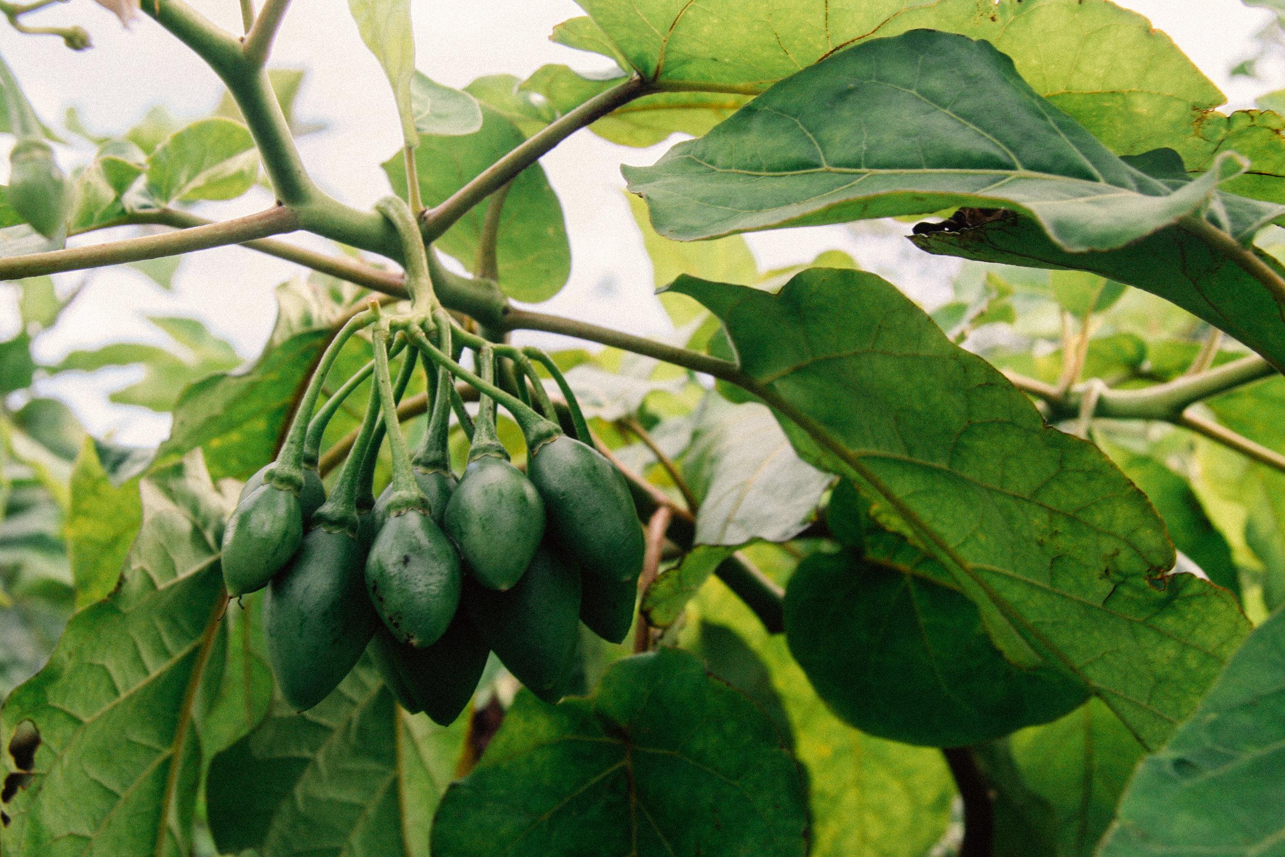 Tamarillo,  Solanum betaceum  (Solanaceae)