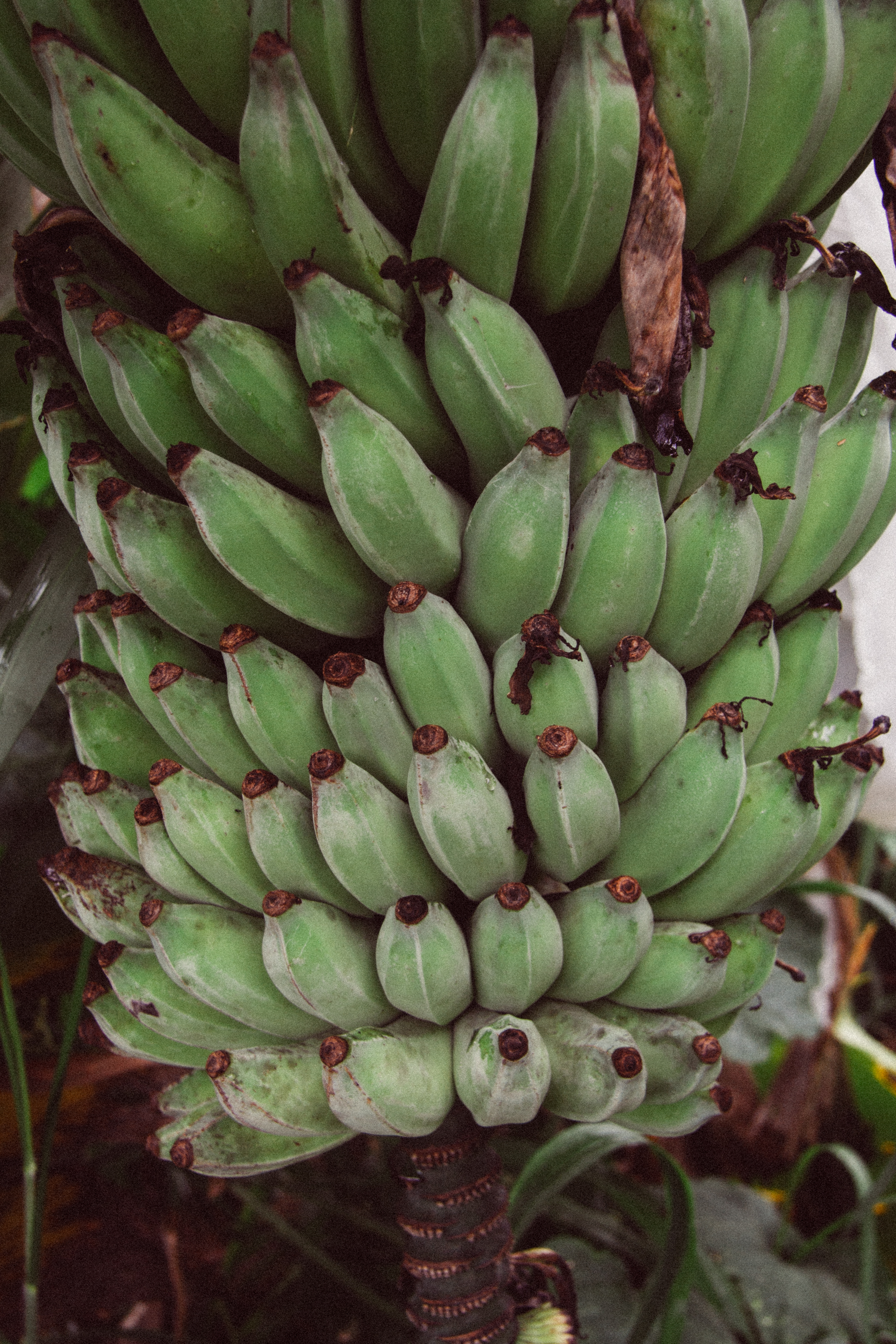 Banana,  Musa spp.  (Musaceae)