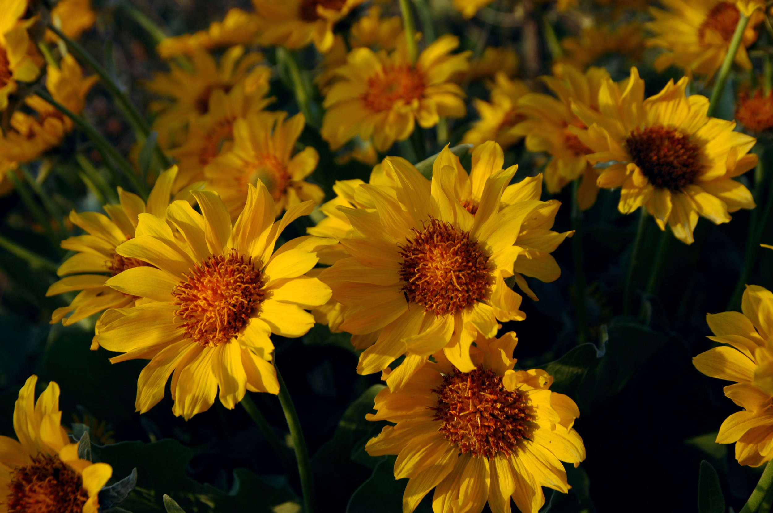 Arrowleaf Balsamroot.  Balsamorhiza sagittata,  (Asteraceae)(credit: Cory Maylett [CC BY-SA 3.0 (https://creativecommons.org/licenses/by-sa/3.0)]