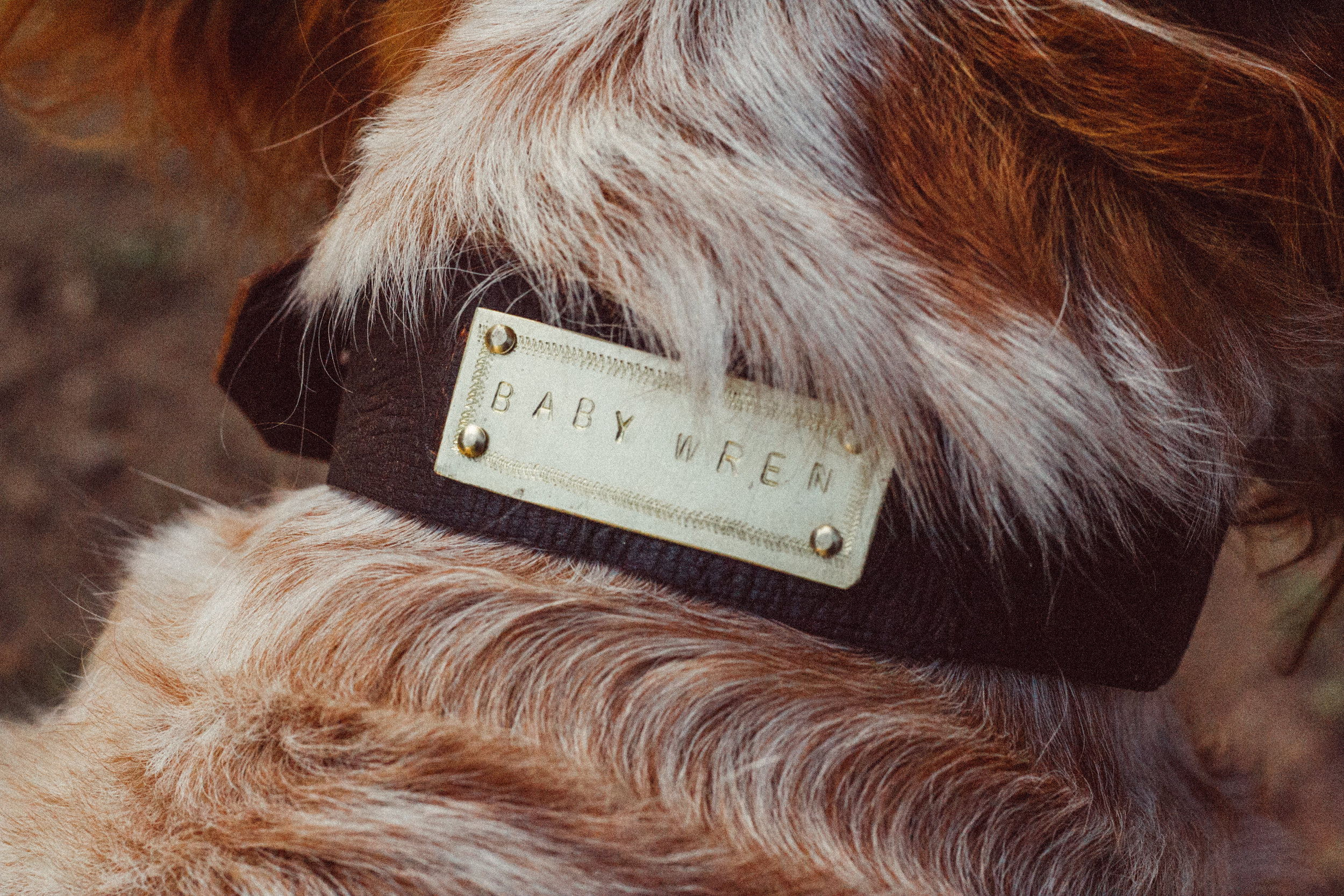 a dog collar made from our bark tanned leather for Wren the dog!
