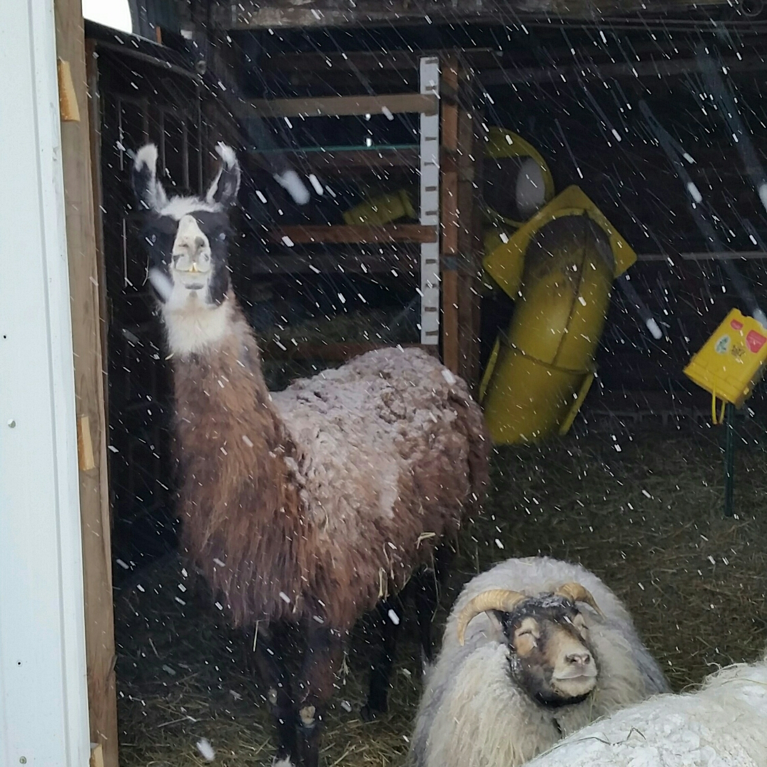 Kato and Mamacita enjoy the falling snow from the barn....