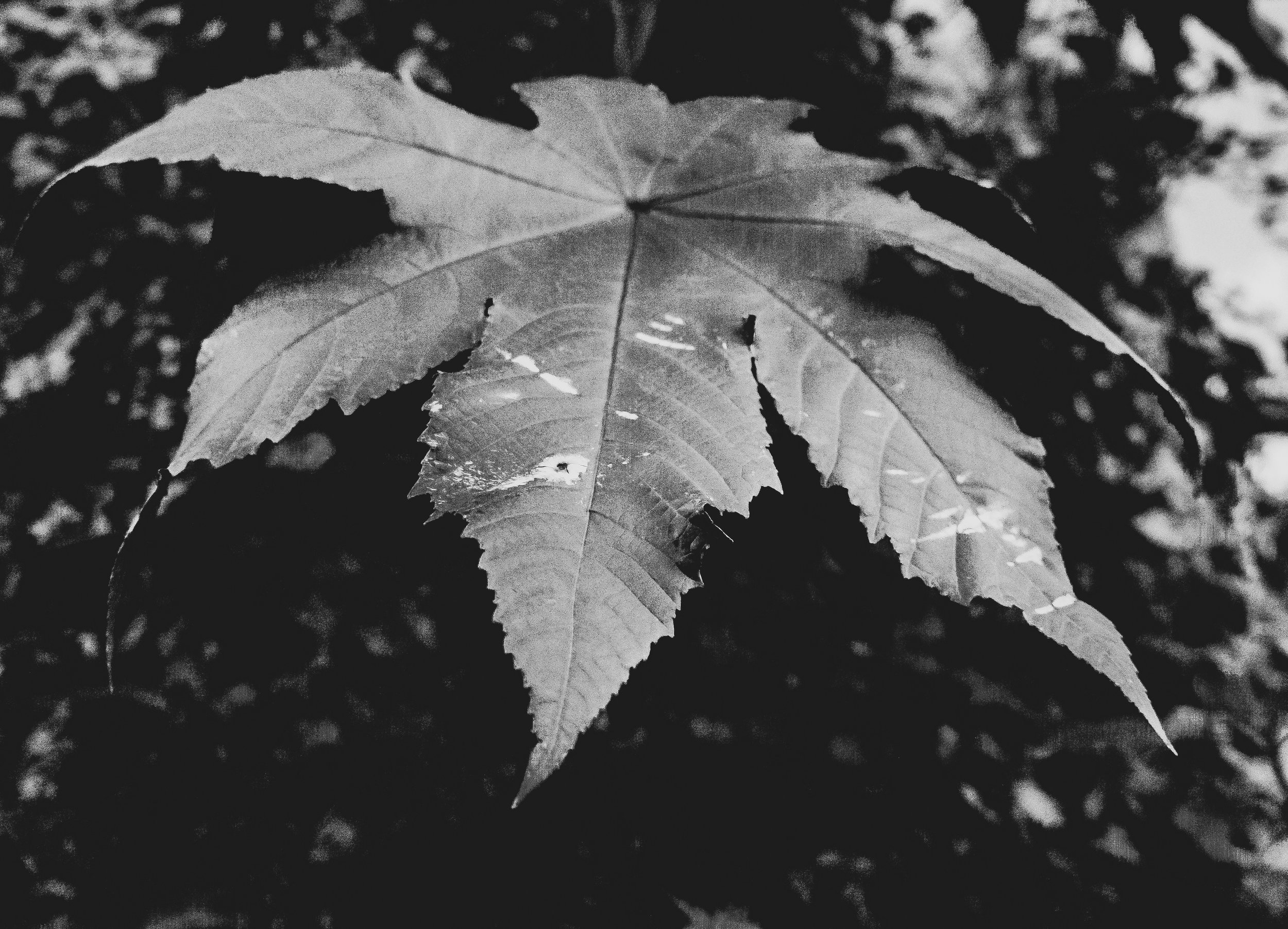 Day 43, Fall Leaves -