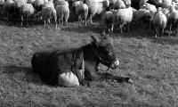Balthazar with the sheep