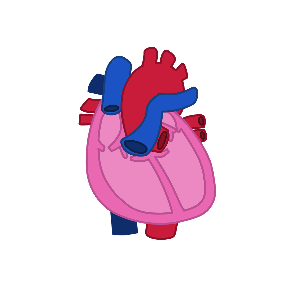All About your Heart - Your heart is part of your circulatory system, which carries blood throughout your entire body.