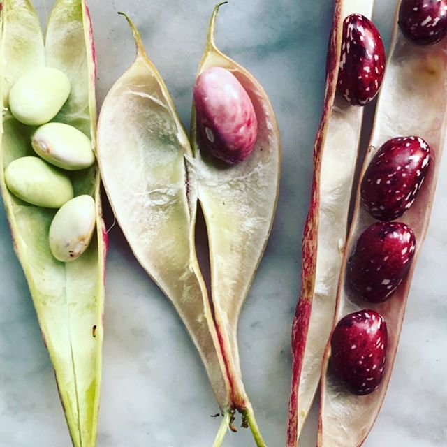 Cranberry bean season is here in all it's gorgeous glory. See story for more on how to cook them.