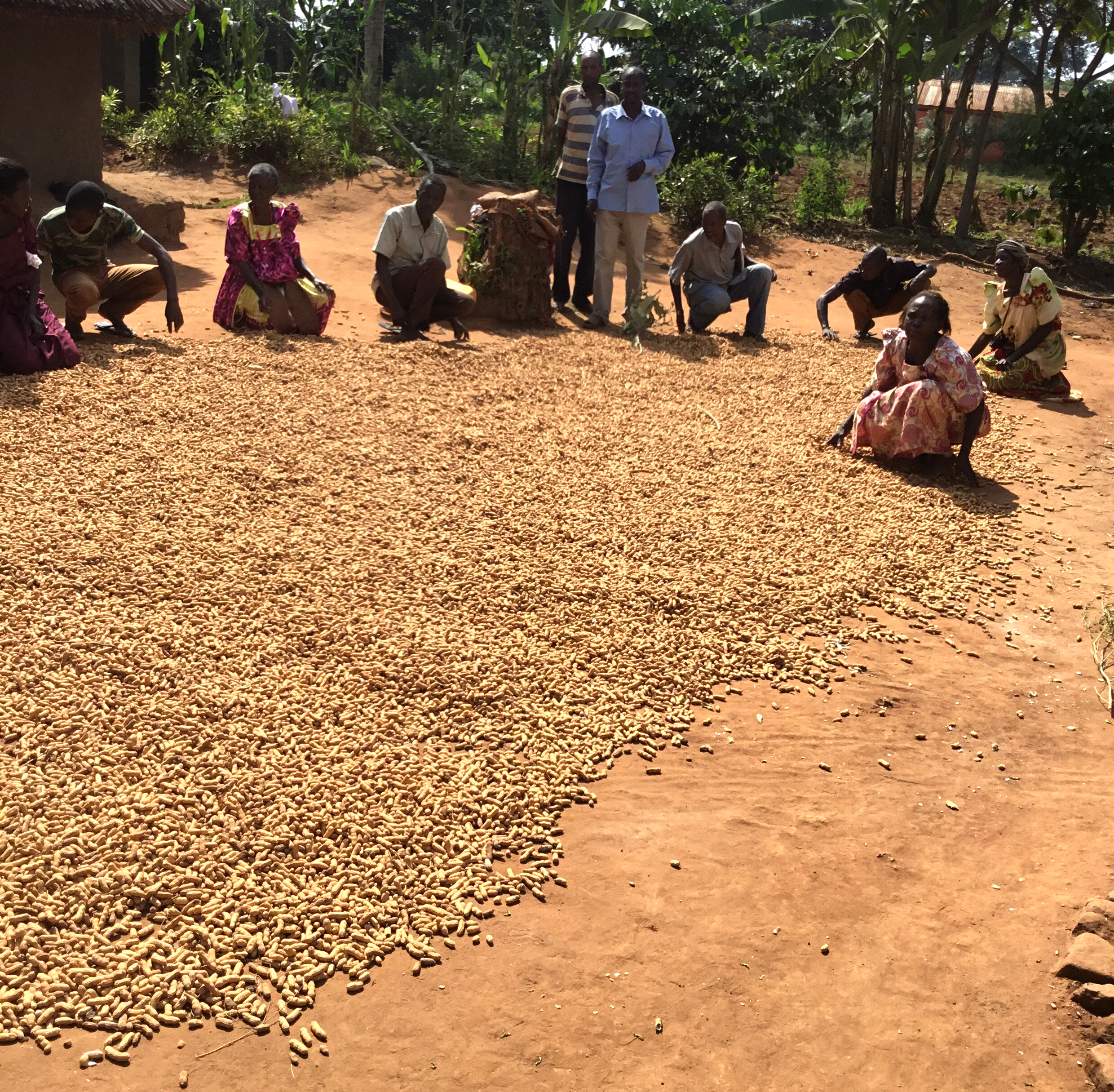Nabikenge Village harvested 600 pounds of groundnuts in June. They are dried in the sun before they are sold.