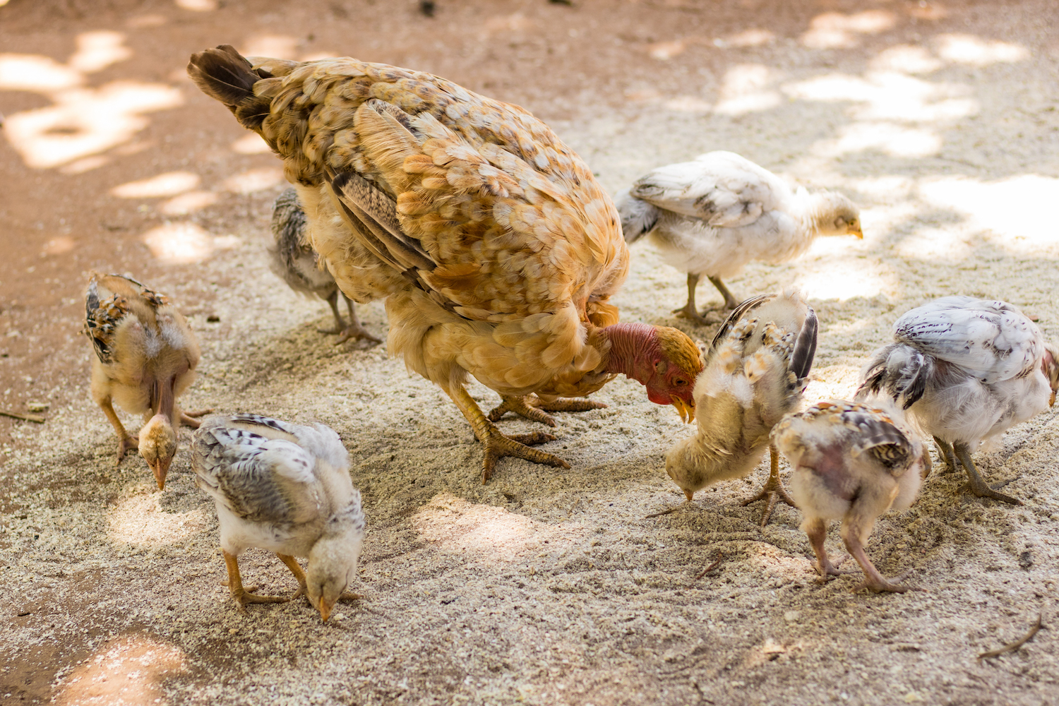 Poultry  – We help community members better understand how to care for their chickens from incubation to adulthood. Healthy chickens mean healthier families and better economic prospects.