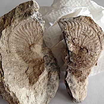 Oxytropidoceras #146  Comanche Peak Formation  Hood Co., TX
