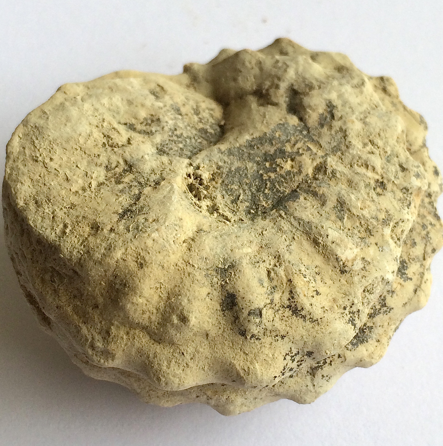 Mariella worthensis #646  Grayson Marl Formation  Denton Co., TX