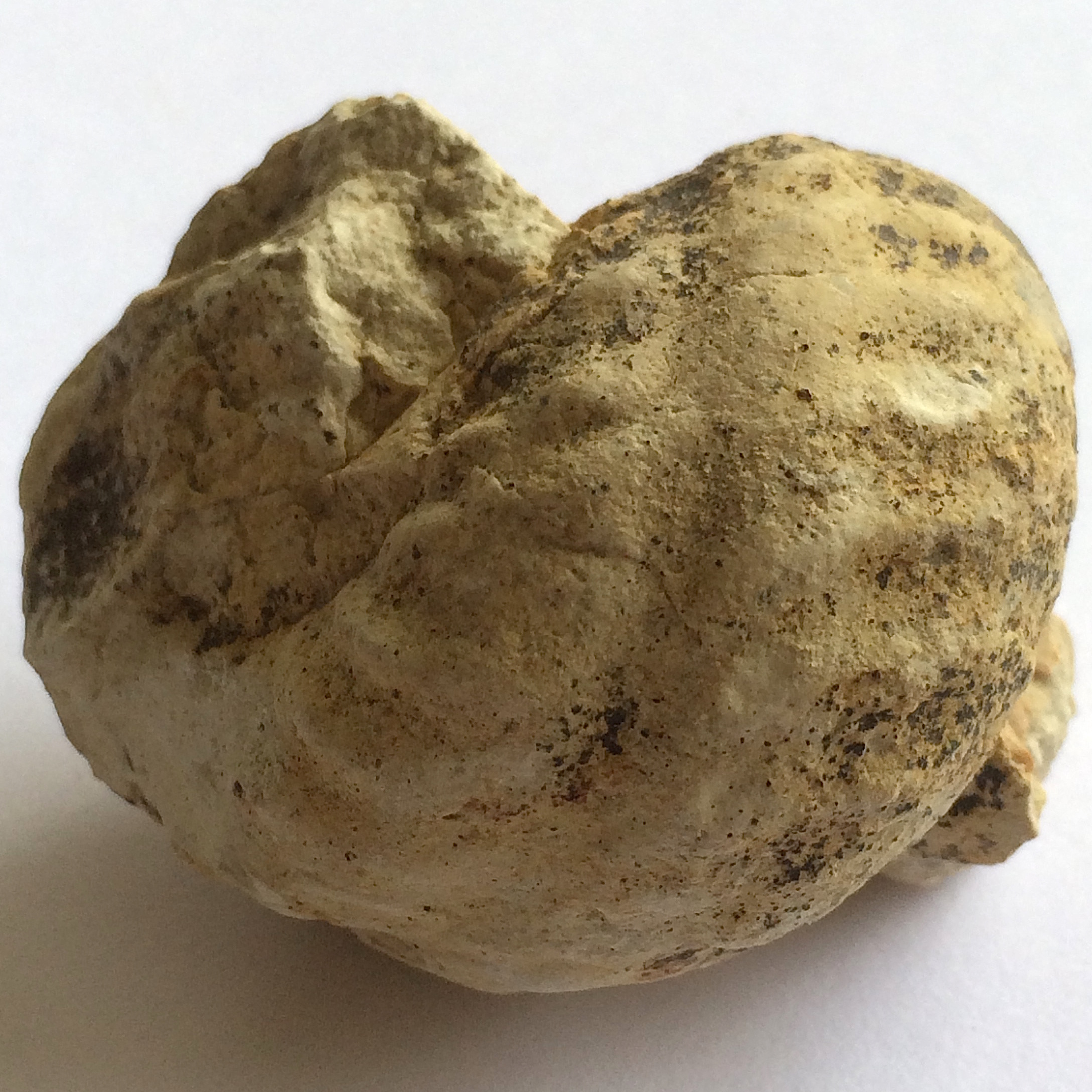 Mariella worthensis #646g  Grayson Marl Formation  Denton Co., TX