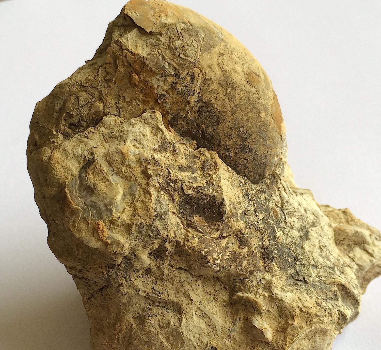 Cymatoceras sp #657  Grayson Marl Formation  Denton Co., TX