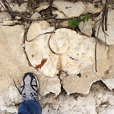 Eopachydiscus in situ  Duck Creek Formation  Cooke Co., TX