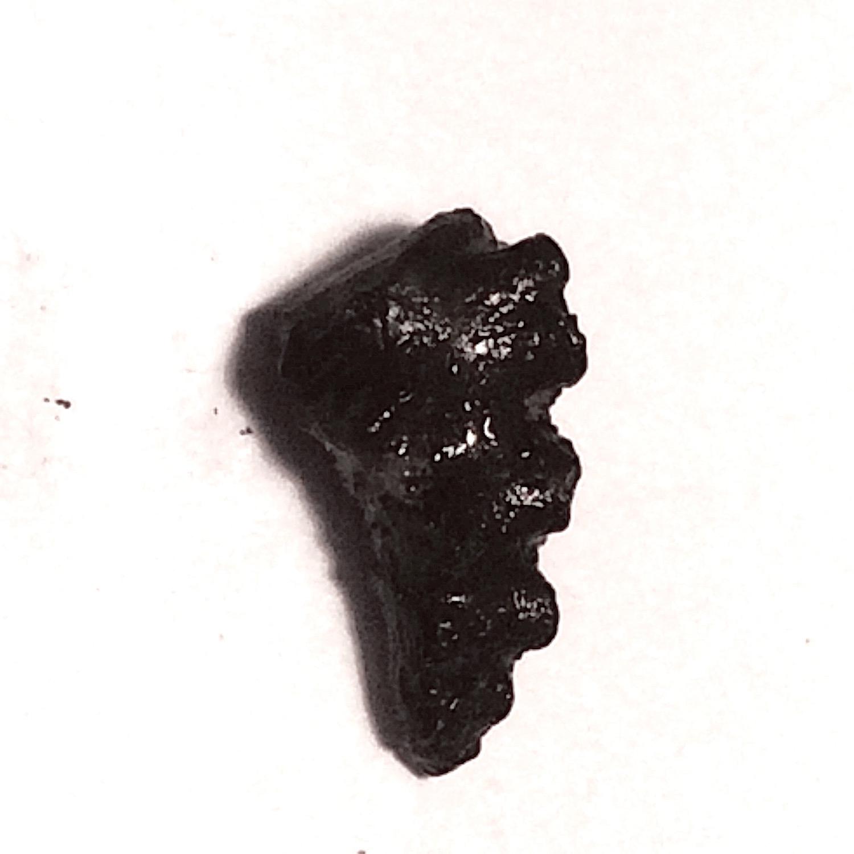 Ammonite Suture  Eagle Ford Shale  Midlothian, Ellis Co., TX