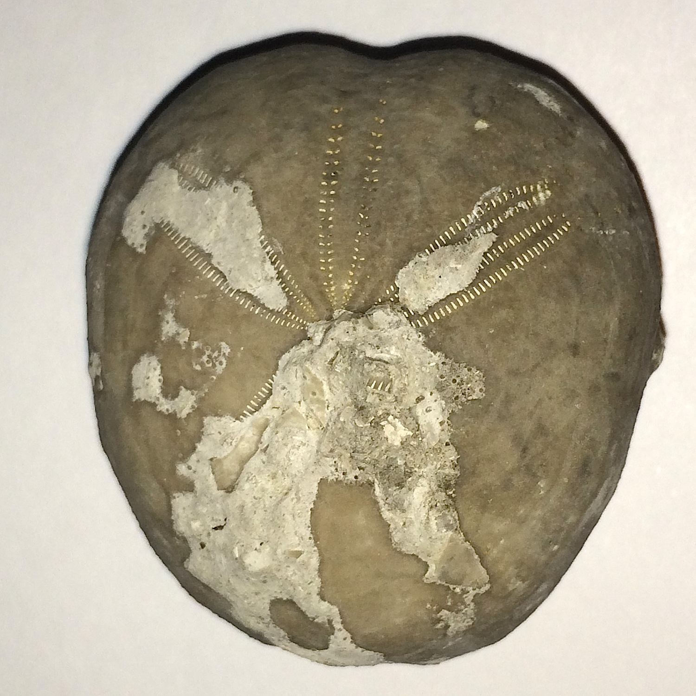 Epiaster whitei #661g  Kiamichi Formation  Denton Co., TX