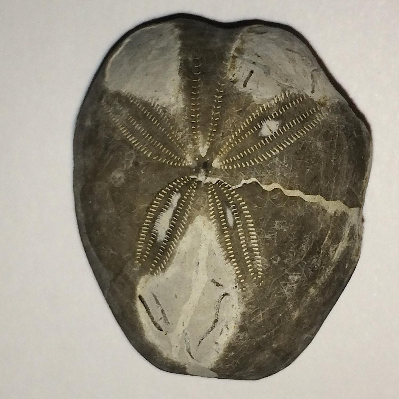 Epiaster whitei #661i  Kiamichi Formation  Denton Co., TX