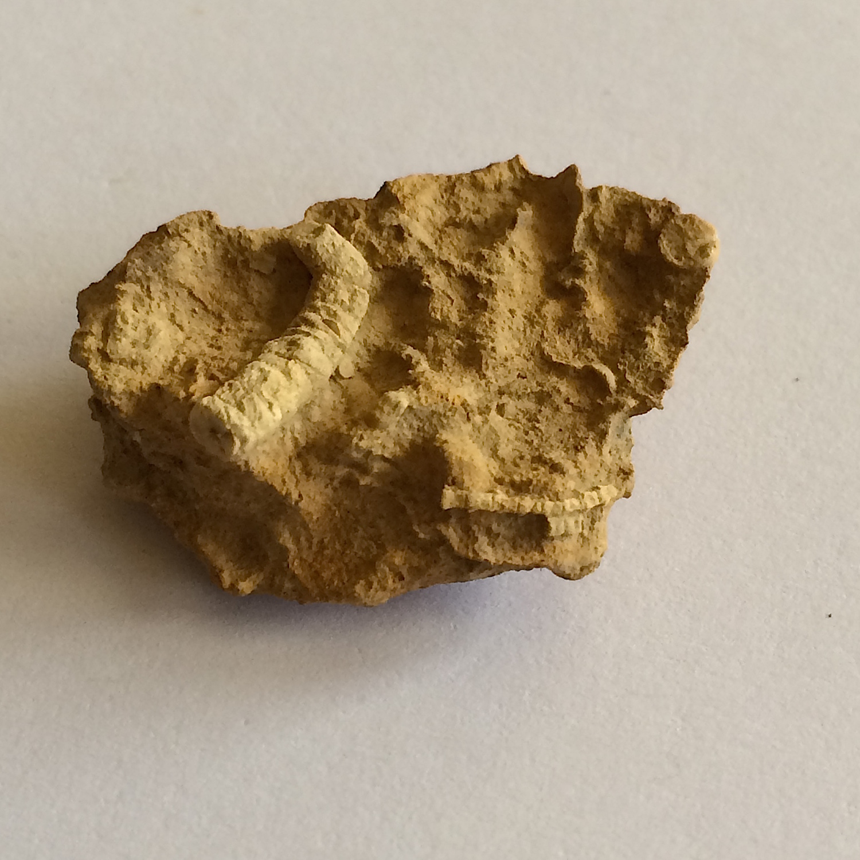 Crinoid in Matrix #458c  Jasper Creek Formation  Bridgeport, Wise Co., TX