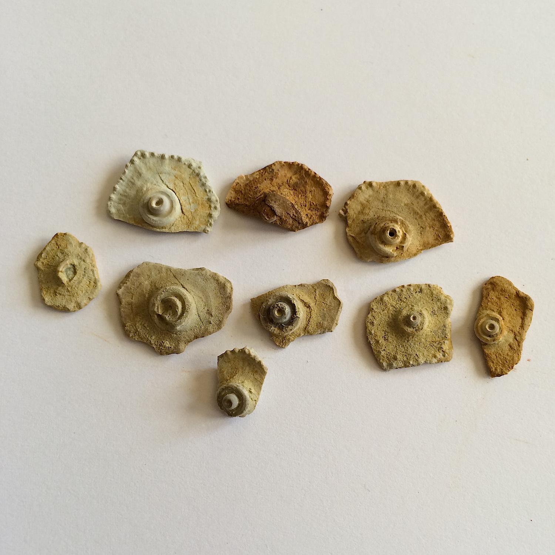 Archaeocidaris Plates #473c  Jasper Creek Formation  Bridgeport, Wise Co., TX