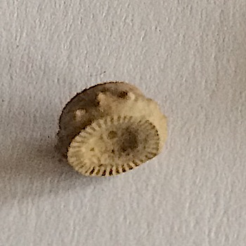 Crinoid Stem #304  Mineral Wells Formation  Mineral Wells, Palo Pinto Co.,TX