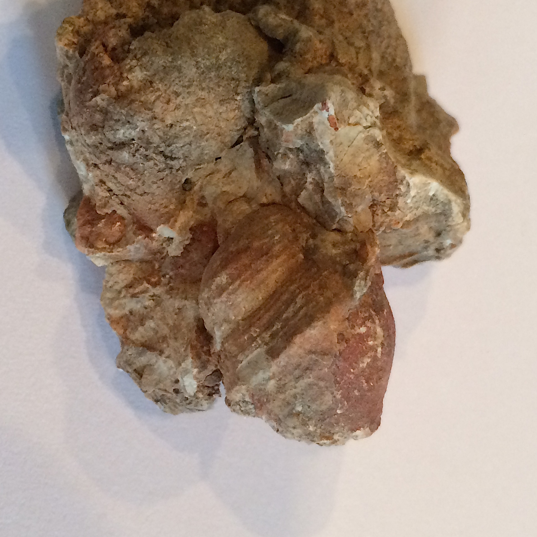 Peruviella dolium terra rosa #408  Comanche Peak Formation  Hood Co., TX