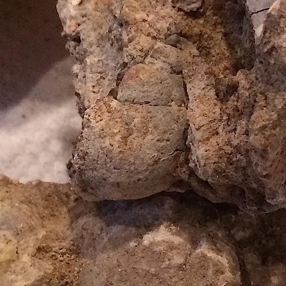 Tylostoma tumidum #397c  Comanche Peak Formation  Hood Co., TX