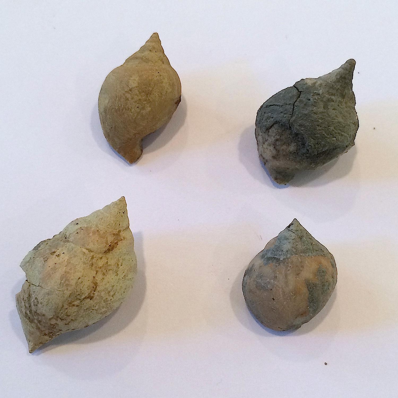 Soleniscus primigeniuss #553f  Graham Formation (Finis Shale)  Jacksboro, Jack Co., TX