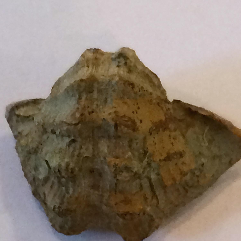 Retispira montfortianus ? #561a  Graham Formation (Finis Shale)  Jacksboro, Jack Co., TX