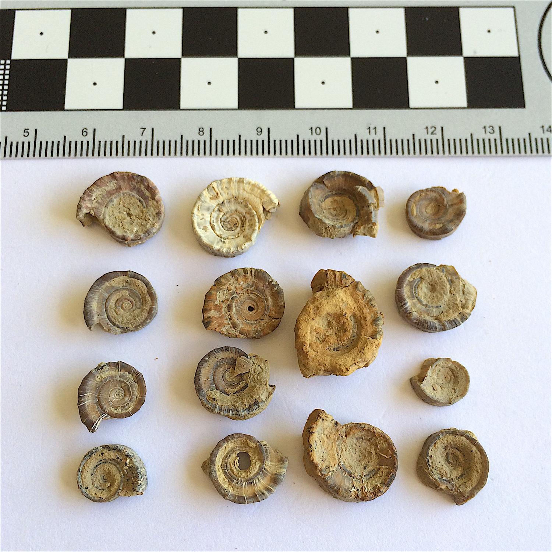 Amphiscapha subrugosa #842c  Graham Formation (Finis Shale)  Jacksboro, Jack Co., TX