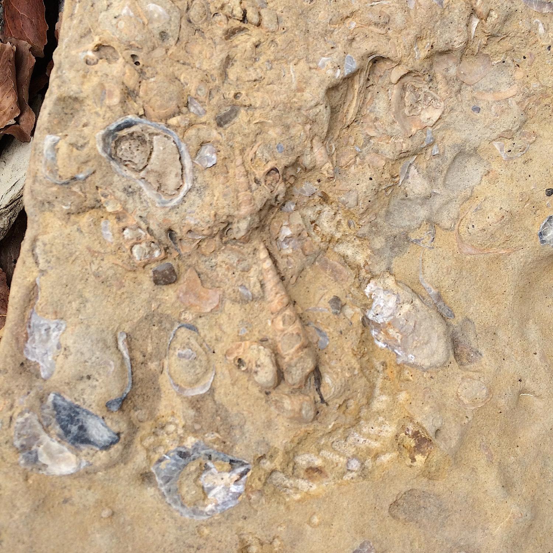 Turritella Mortality Plate #5  Lake Grapevine, Denton Co., TX