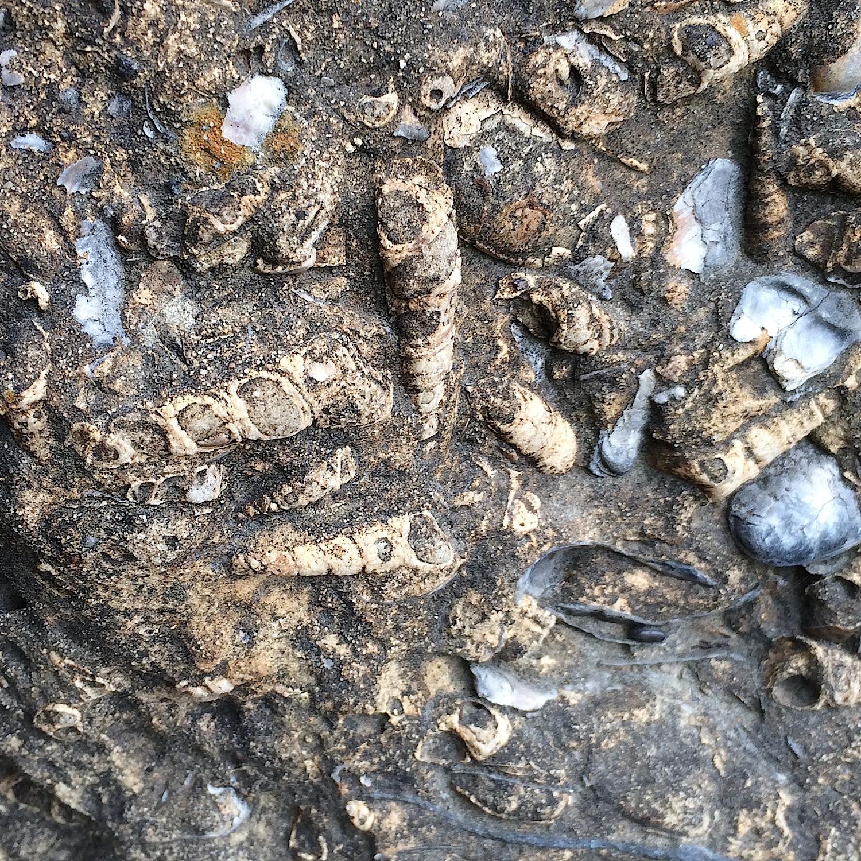 Turritella Mortality Plate #6  Lake Grapevine, Denton Co., TX