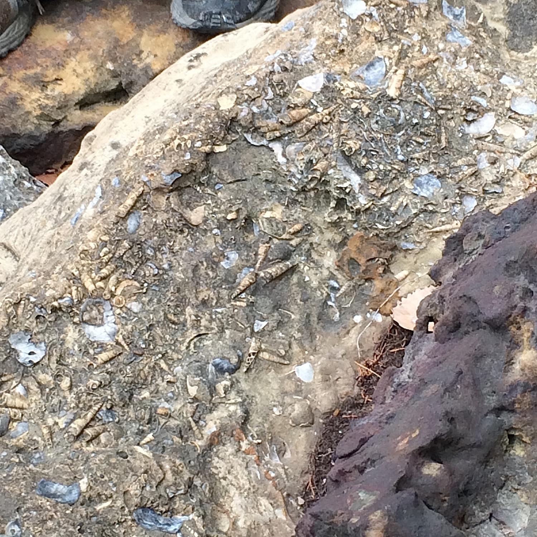 Turritella Mortality Plate #8  Lake Grapevine, Denton Co., TX