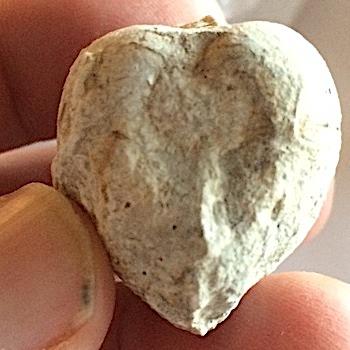 "Artica ""Deer Heart"" Clam #249  Comanche Peak Formation  Hood Co., TX"