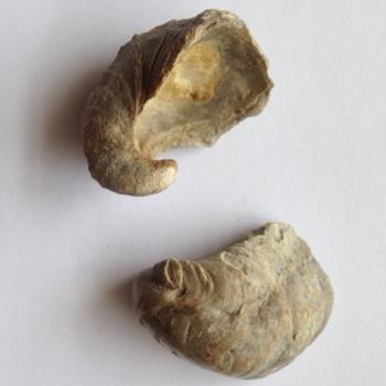 Gryphaea (Devils Toenail) #10  Walnut Clay Formation  Hood Co., TX