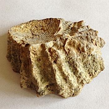 Peilinia crenulimargo #173  Walnut Clay Formation  Hood Co., TX