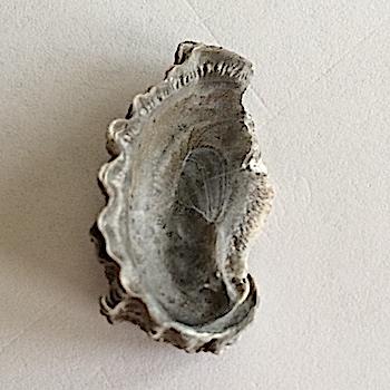Oyster #388  Walnut Clay Formation  Hood Co., TX