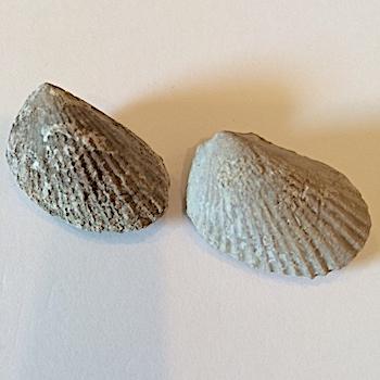 Lima wacoensis #361b  Walnut Clay Formation  Hood Co., TX