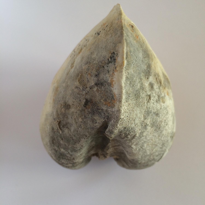 Cucullaea sp. #481b  Glen Rose Formation  Kerr Co., TX