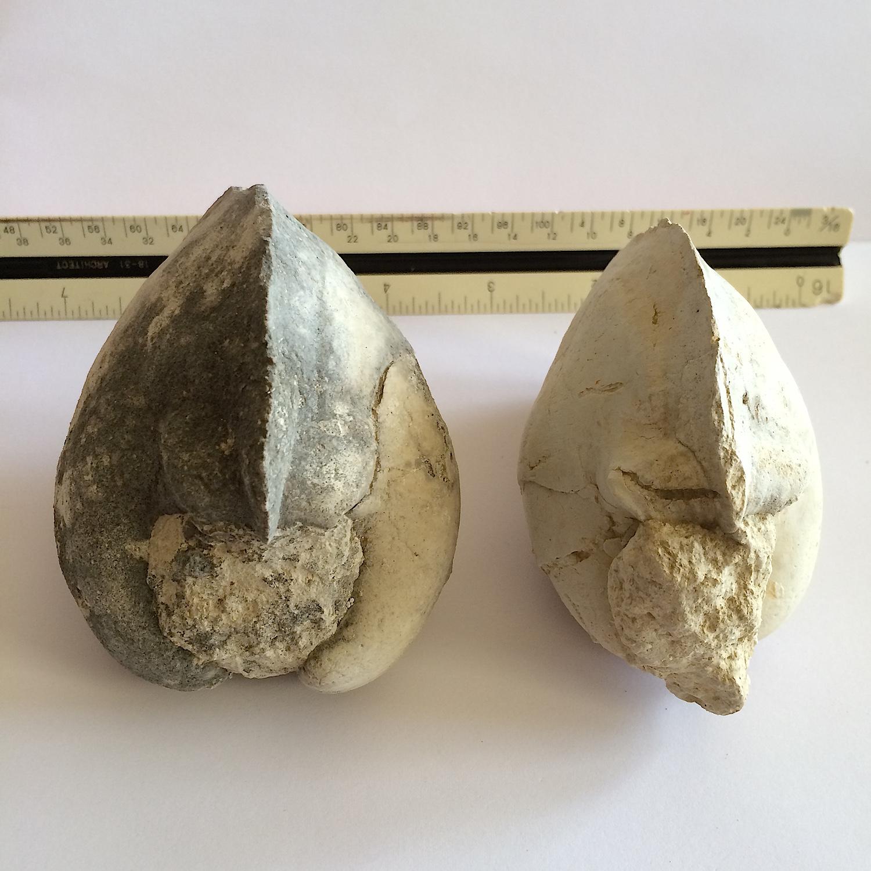 Cucullaea sp. #483  Glen Rose Formation  Kerr Co., TX