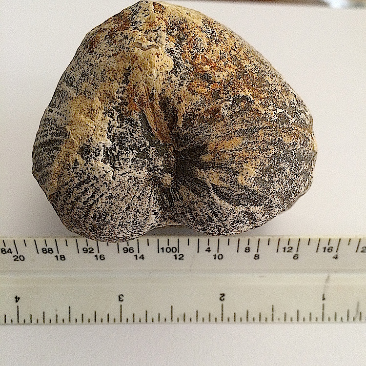 Pachymya #643c  Grayson Marl Formation  Denton Co., TX