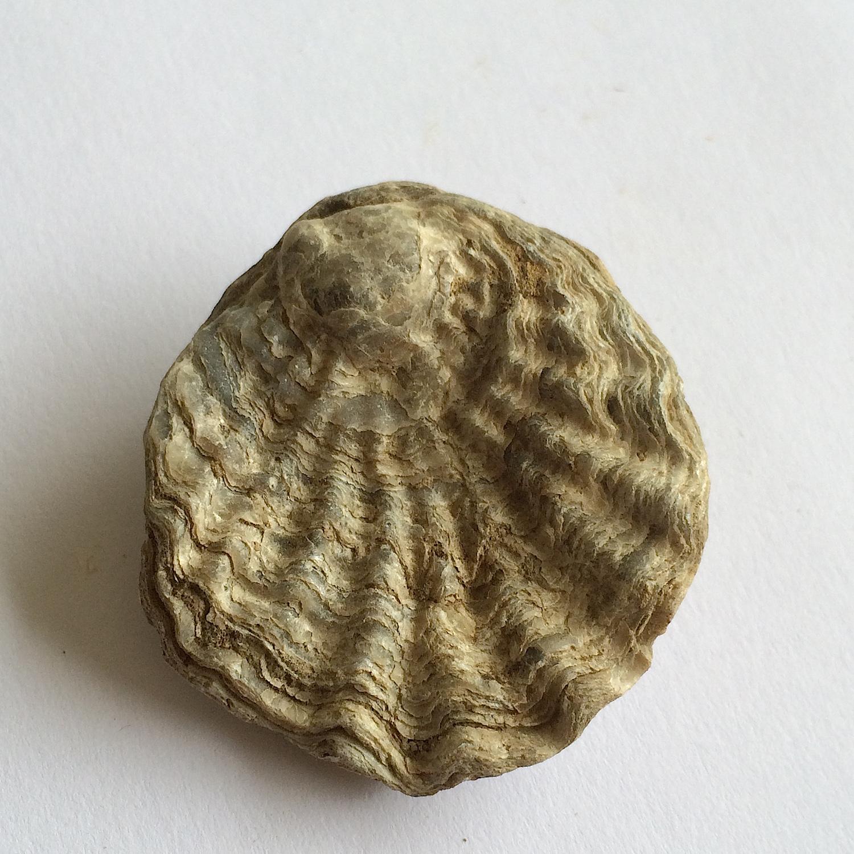 Lopha #651c  Grayson Marl Formation  Denton Co., TX
