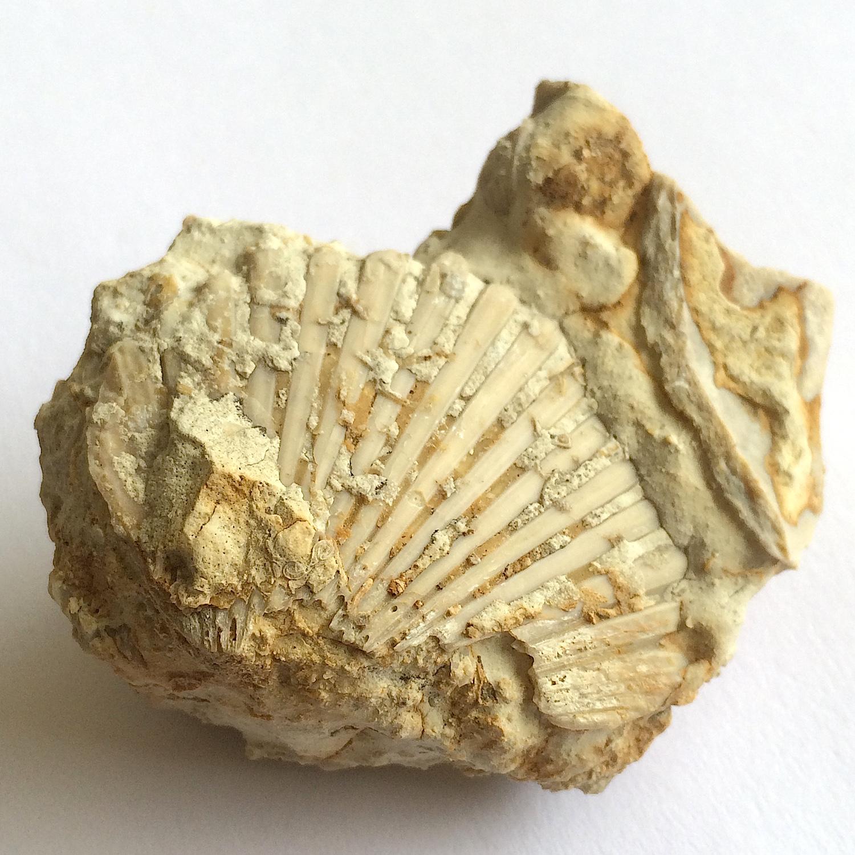 Neithia #654c  Grayson Marl Formation  Denton Co., TX