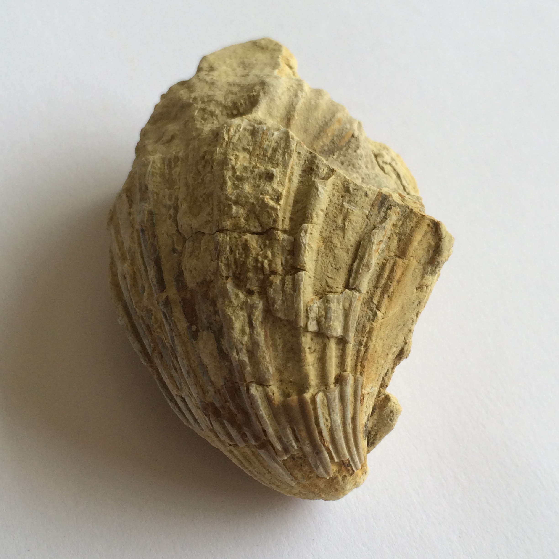 Neithia #655  Grayson Marl Formation  Denton Co., TX