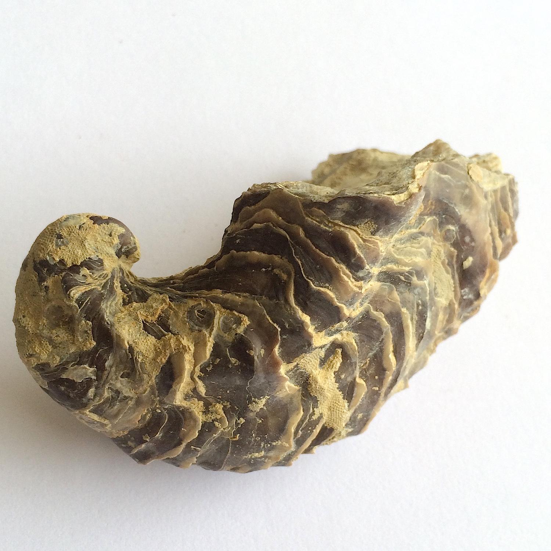 Texigryphaea roemeri #660f  Grayson Marl Formation  Denton Co., TX