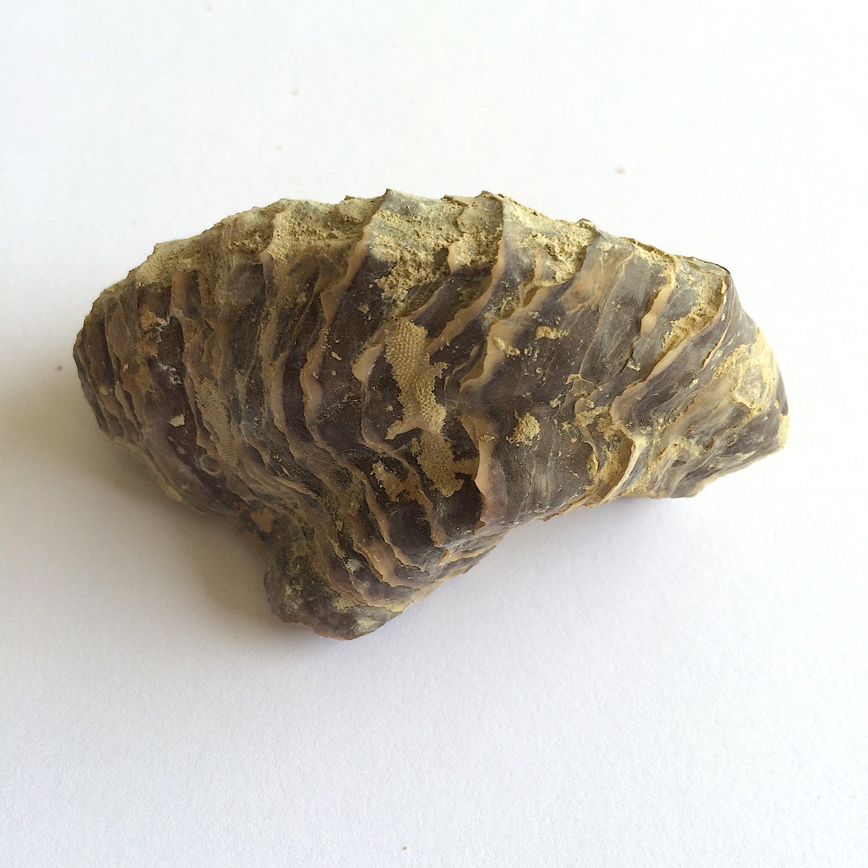 Texigryphaea roemeri #660e  Grayson Marl Formation  Denton Co., TX