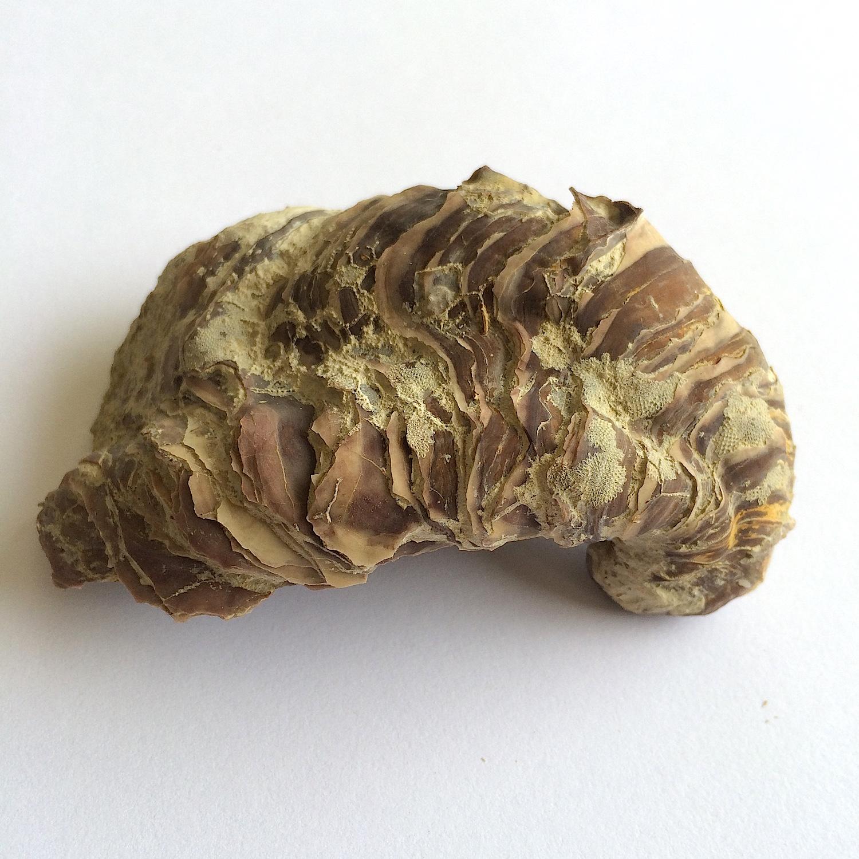 Texigryphaea roemeri #660c  Grayson Marl Formation  Denton Co., TX