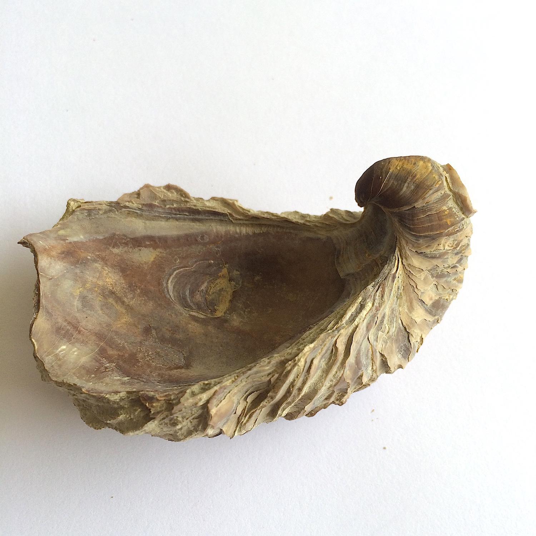 Texigryphaea roemeri #660d  Grayson Marl Formation  Denton Co., TX