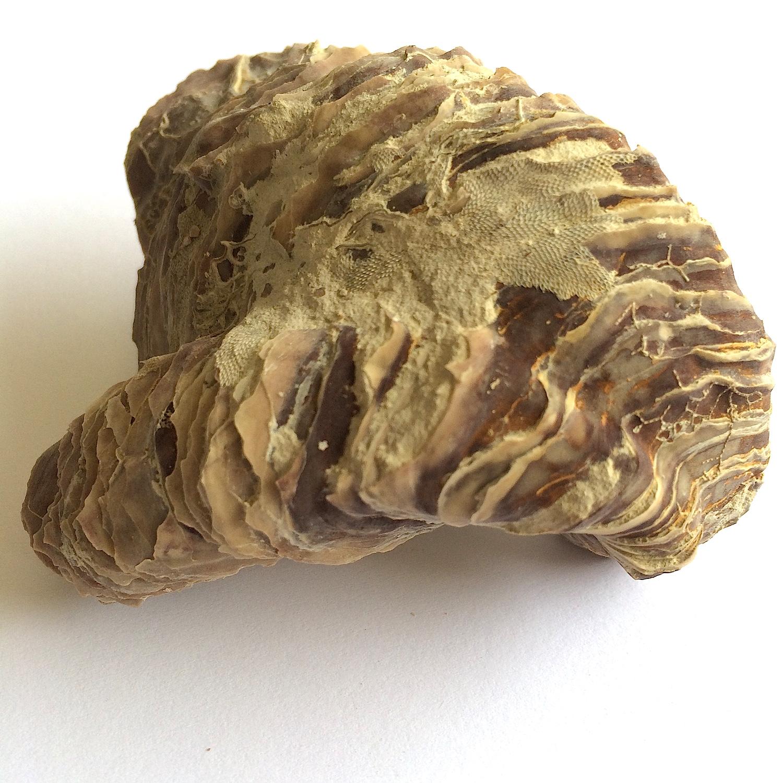 Texigryphaea roemeri #660b  Grayson Marl Formation  Denton Co., TX