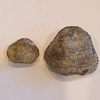 Pulchratia symmetrica. #254  Paluxy Sand Formation  Hood Co., TX