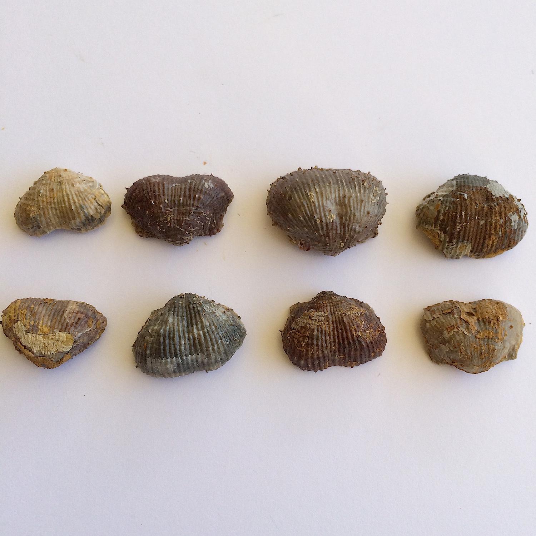 Kutorginella lasallensis #433c  Finis Shale, Graham Formation  Jacksboro, Jack Co., TX